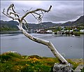 Leafless tree in Nordkap - panoramio.jpg