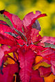 "Leaves, Joseph's coat, ""Shou-jyou"" - Flickr - nekonomania.jpg"