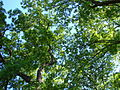 Leaves-Canopy-5021.jpg