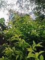 Leaves and trees palavangudi jpg 28.jpg