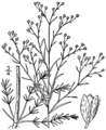Lechea pulchella pulchella drawing 1.png