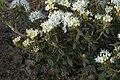 Ledem groenlandicum E.jpg