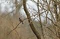Leevike - Eurasian bullfinch - Pyrrhula pyrrhula.jpg