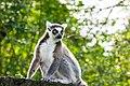 Lemur (37313670935).jpg