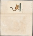 Lemur mongoz - 1829-1867 - Print - Iconographia Zoologica - Special Collections University of Amsterdam - UBA01 IZ19700015.tif