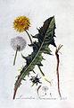 Leontodon taraxacum — Flora Batava — Volume v3.jpg