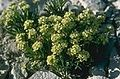 Lepidium barnebyanum.jpg