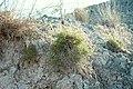 Lepidium turczaninowii.jpg
