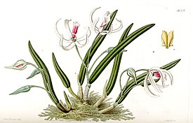 Leptotes bicolor - Edwards vol 19 pl 1625 (1833).jpg