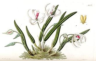 Leptotes (plant) - Original illustration published by John Lindley when he described the genus Leptotes, in 1833.