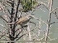 Lesser Whitethroat (Sylvia curruca) (43133117924).jpg