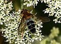 Leucozona glaucia (female) - Flickr - S. Rae (3).jpg