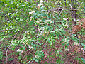 Leutratal-Lonicera-periclymenum-1328.jpg