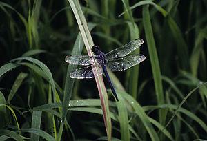 Libellula - Slaty Skimmer, Libellula incesta