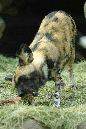 Lightmatter African painted dog