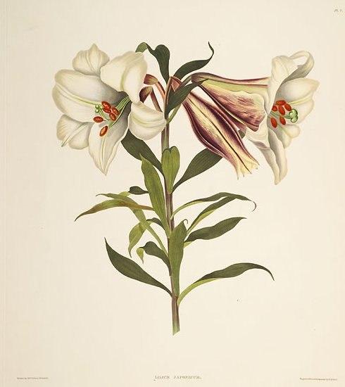 Lilium japonicum 2 (lit)