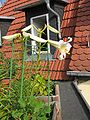 Lilium regale (1).jpg