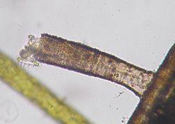 Limnias watumiwamusi03.jpg
