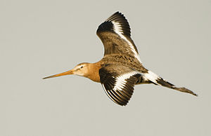 Black-tailed godwit - In flight