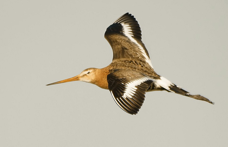 Limosa limosa (flying)-2