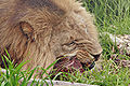 Lion feeding - melbourne zoo.jpg