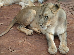 Central African lion - Lions in Mefou National Park, Cameroon