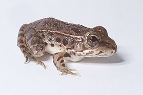 Description de l'image Lithobates yavapaiensis.jpg.