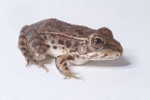Lowland leopard frog - Image: Lithobates yavapaiensis