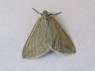 <i>Lithostege</i> Genus of moths