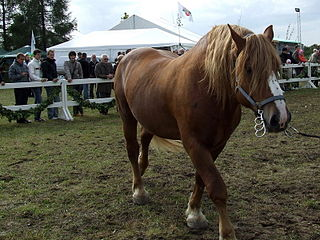 Lithuanian Heavy Draught Lithuanian breed of horse