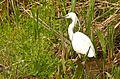 Little Egret (Egretta garzetta) (26217409800).jpg