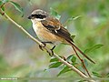 Long-tailed Shrike (Lanius schach) (30213355701).jpg