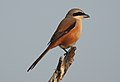 Long-tailed Shrike by Dr. Raju Kasambe DSCN7156 (17).jpg