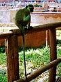 Long tail monkey.jpg