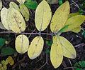 Lonicera caerulea 2.jpg