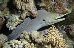 Looks grey, is this still the giant moray? (6207749365).jpg
