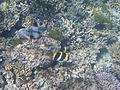 LordHoweIsland NorthBay Reef 10.JPG