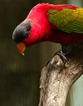 Lorius domicella -Jurong Bird Park -upper body-8a.jpg