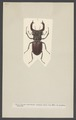Lucanus - Print - Iconographia Zoologica - Special Collections University of Amsterdam - UBAINV0274 001 04 0006.tif