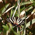 Luehdorfia japonica.jpg