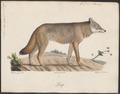 Lupus orientalis - 1700-1880 - Print - Iconographia Zoologica - Special Collections University of Amsterdam - UBA01 IZ22200355.tif