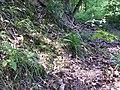 Luzula luzuloides var. luzuloides sl1.jpg