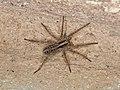 Lycosidae sp. (42710274372).jpg