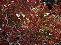 Lyonia ligustrina - Flickr - peganum.jpg