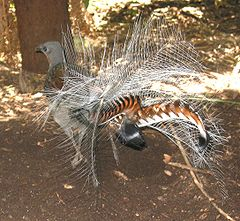https://upload.wikimedia.org/wikipedia/commons/thumb/3/38/Lyrebird.jpg/240px-Lyrebird.jpg