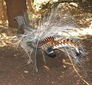 Superb lyrebird - Superb lyrebird in courtship display — as seen from the back