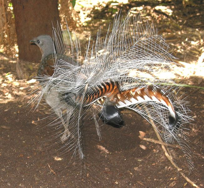 http://upload.wikimedia.org/wikipedia/commons/thumb/3/38/Lyrebird.jpg/652px-Lyrebird.jpg