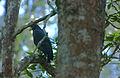 MANGROVE BLACKHAWK.jpg