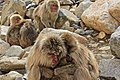 Macaca Fuscata, also known as Japanese Snow Monkeys, in Jigokudani, Yudanaka, Japan 14.jpg
