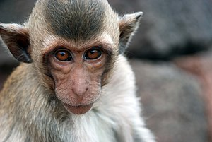 A crab-eating macaque in Lopburi, Thailand.